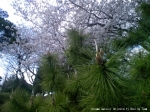 松毬越しの桜